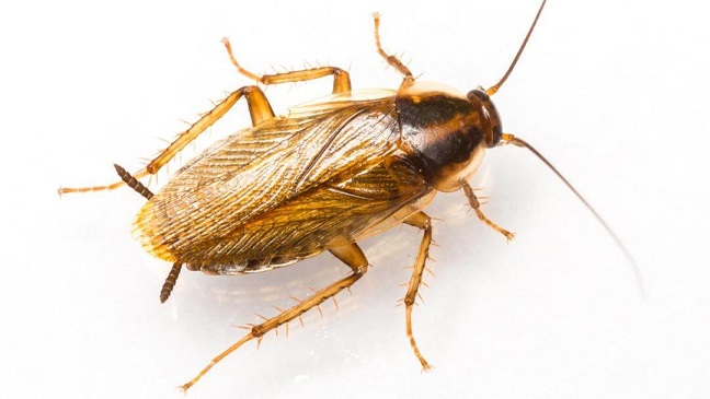 Cockroaches in Kitchen Cabinets